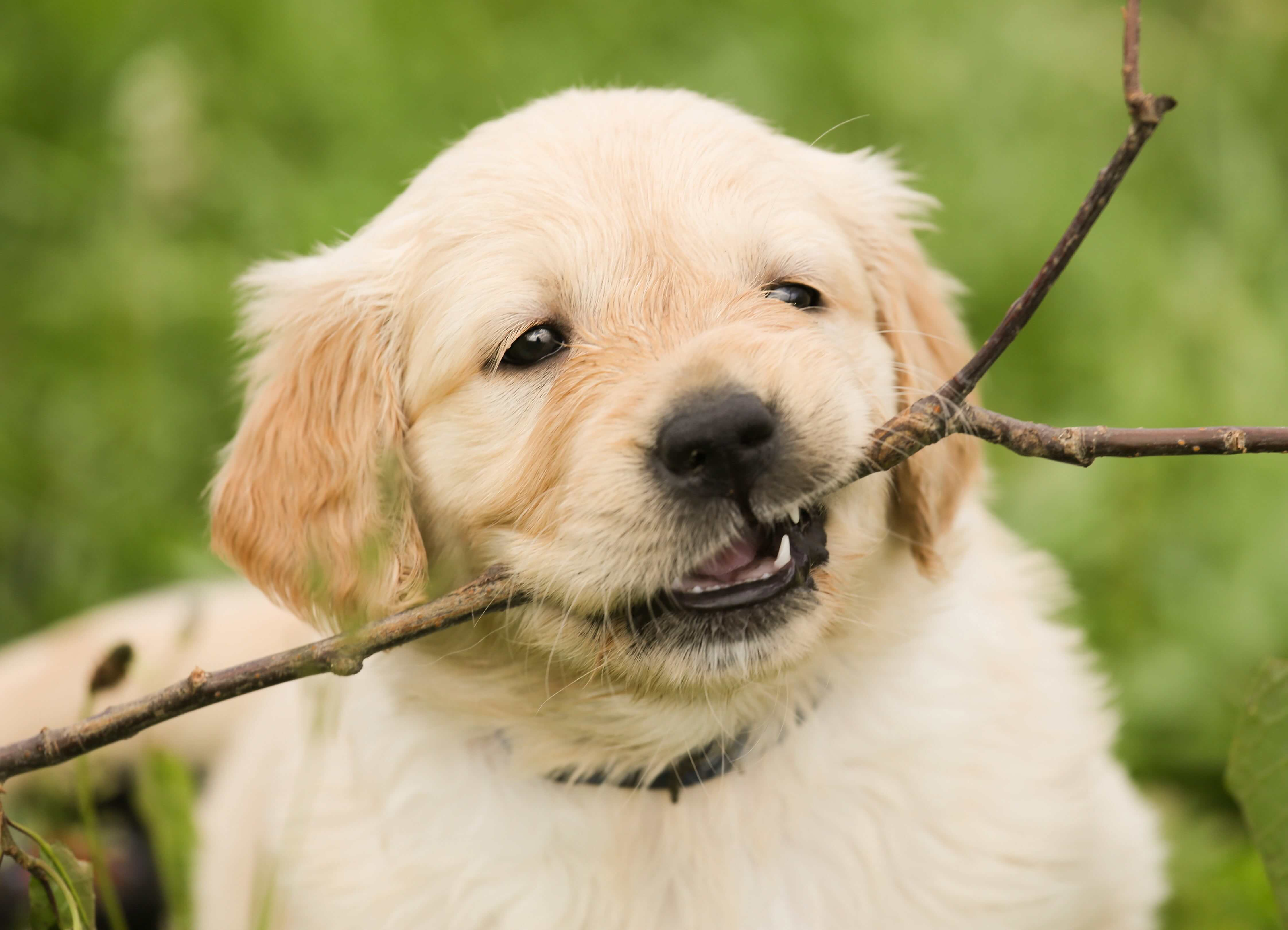 Cute golden labrador puppy with a stick in it's mouth