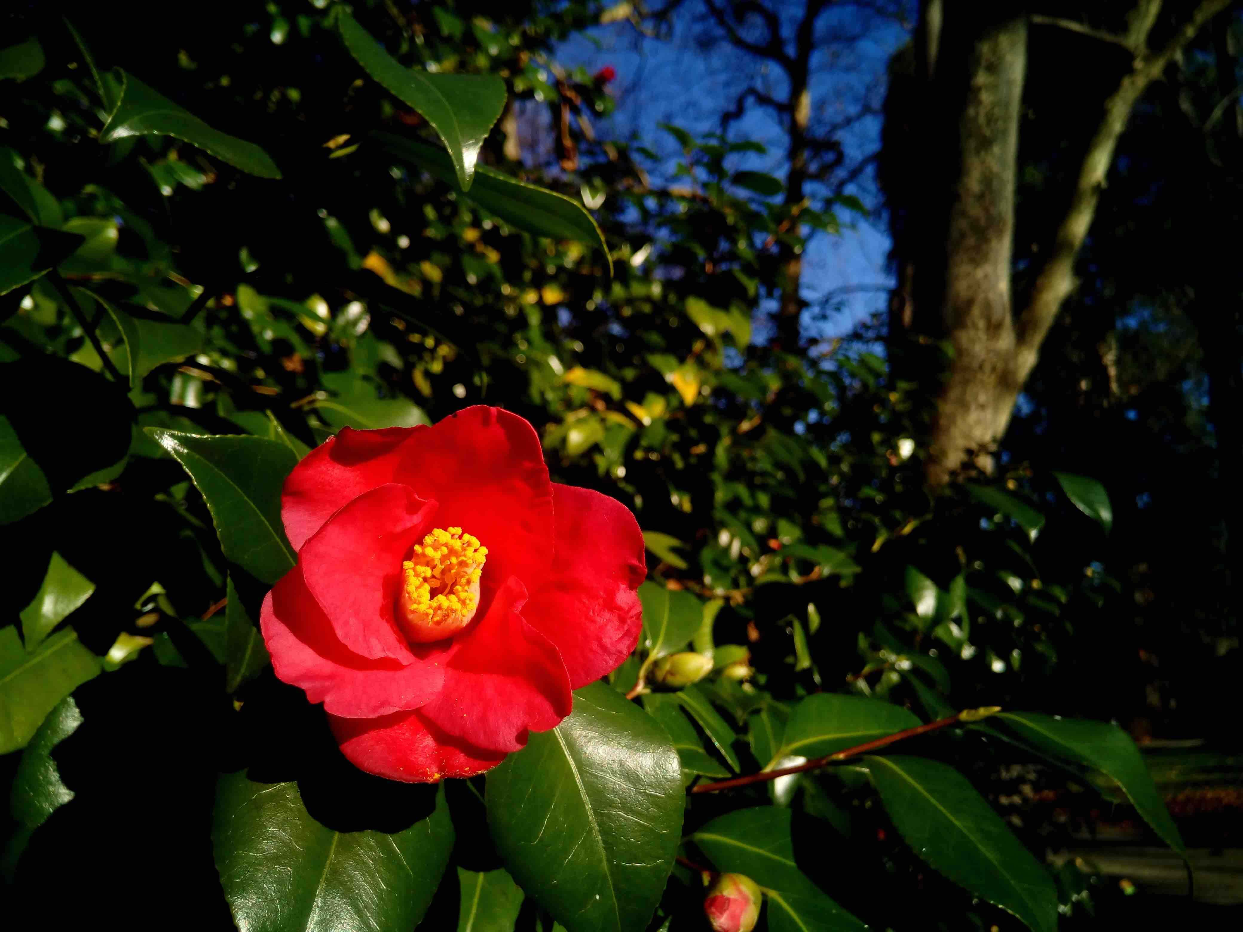 A red Camellia