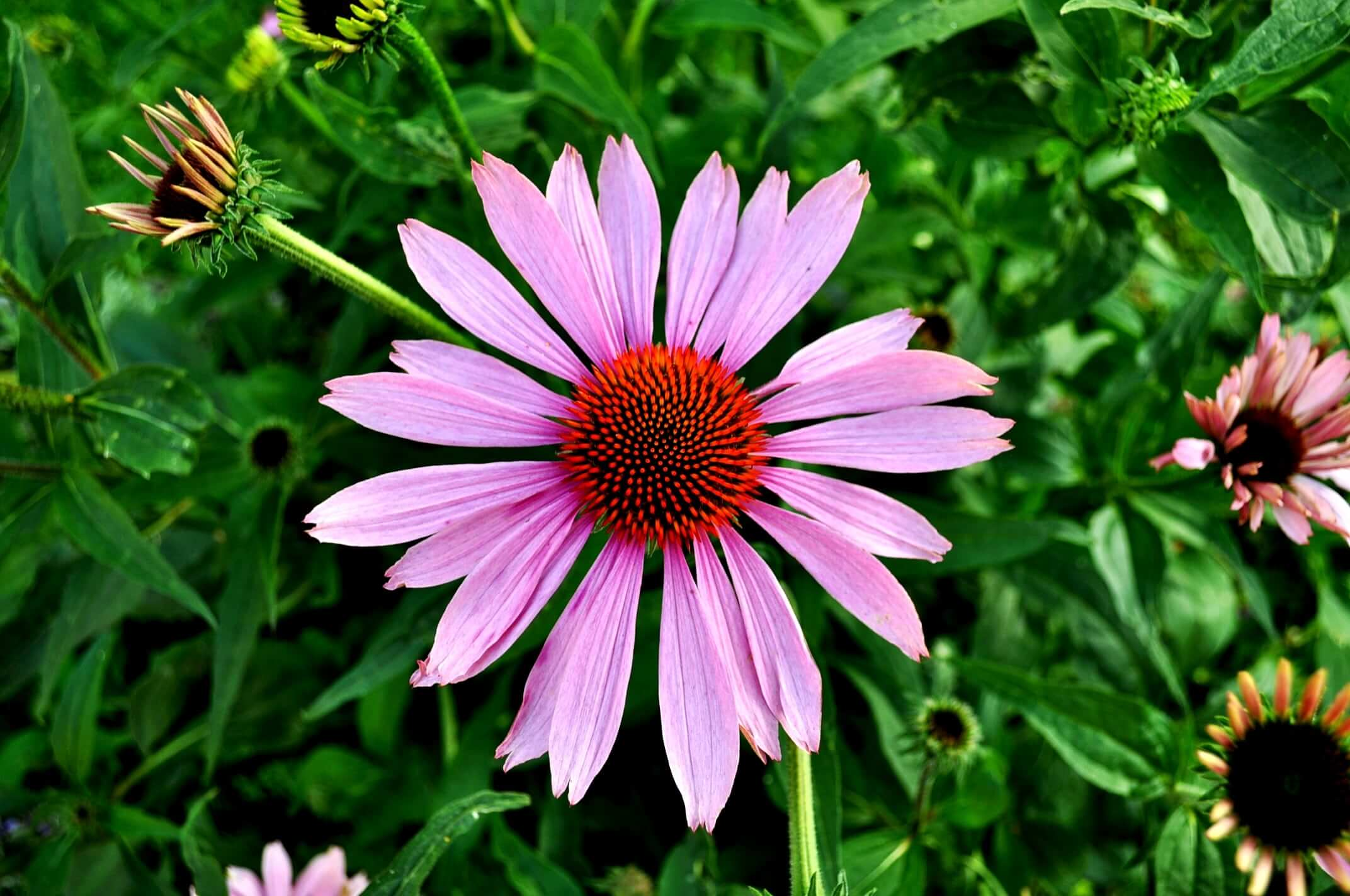 Bright pink echinacea flower