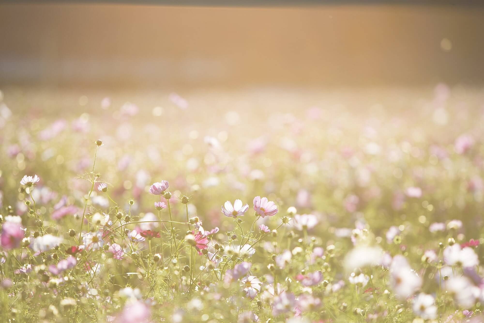 Sunlit field full of purple and white daisies